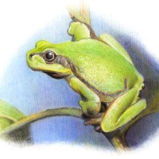 Frosch Tempera