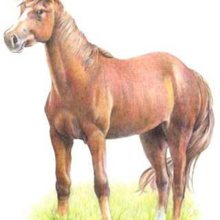 Pferd Buntstift